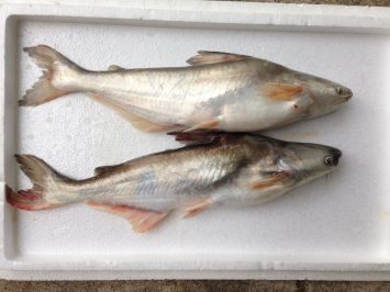 Patin Fish 2