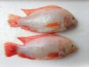 Tilapia Fresh